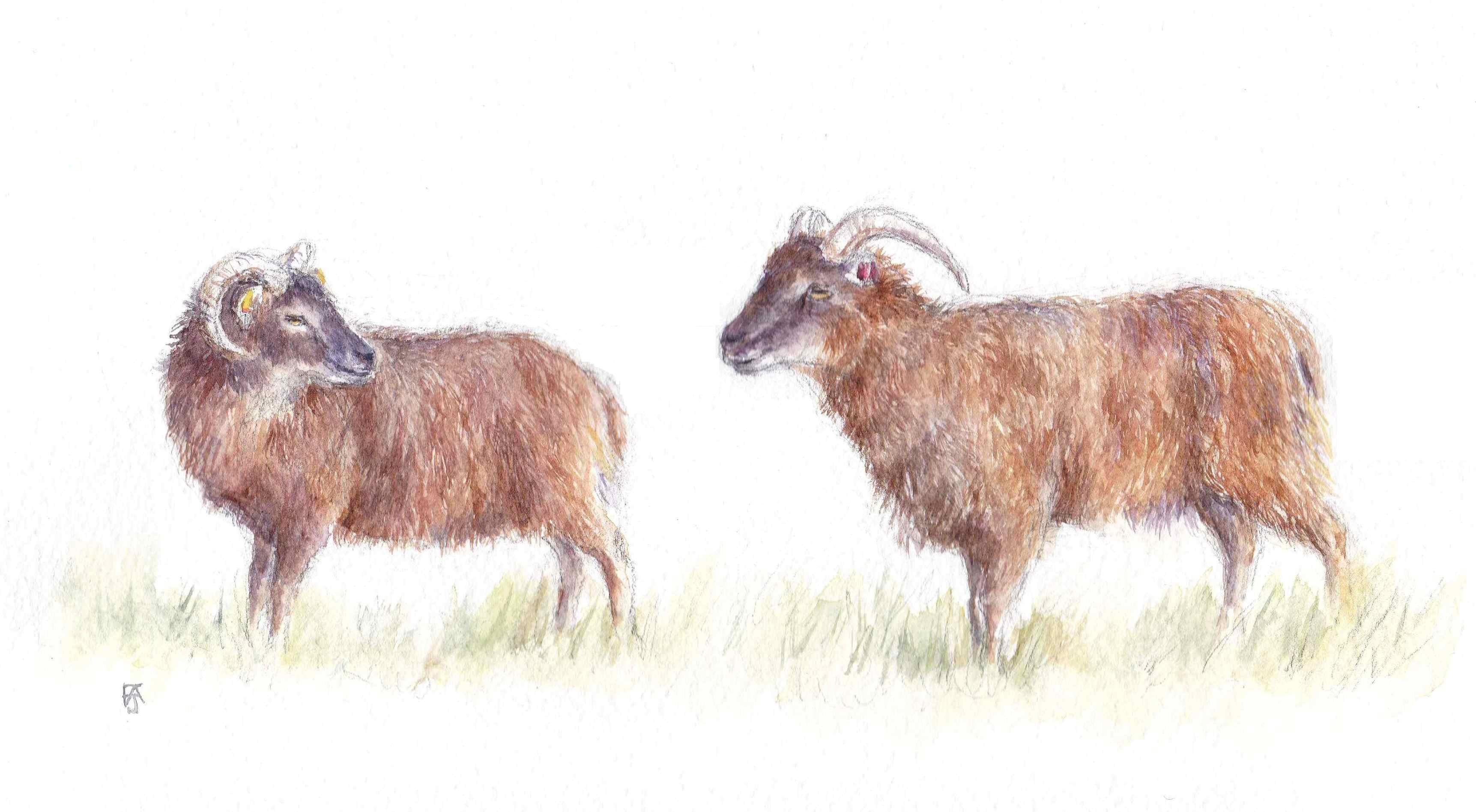 Soay sheep F A Jackson