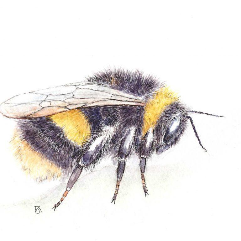 Buff-tailed bumblebee copy