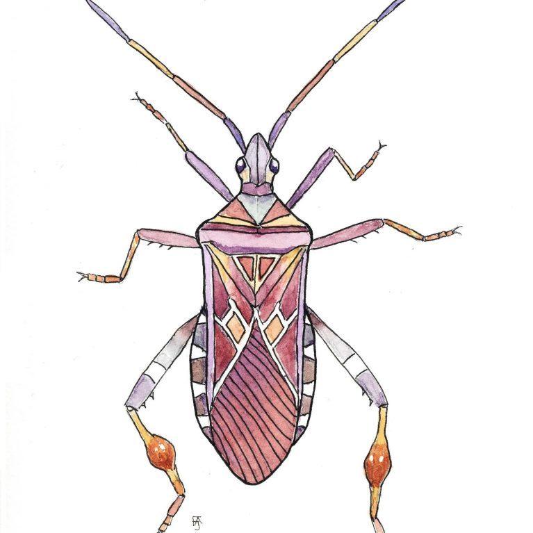 Conifer seed bug F A Jackson