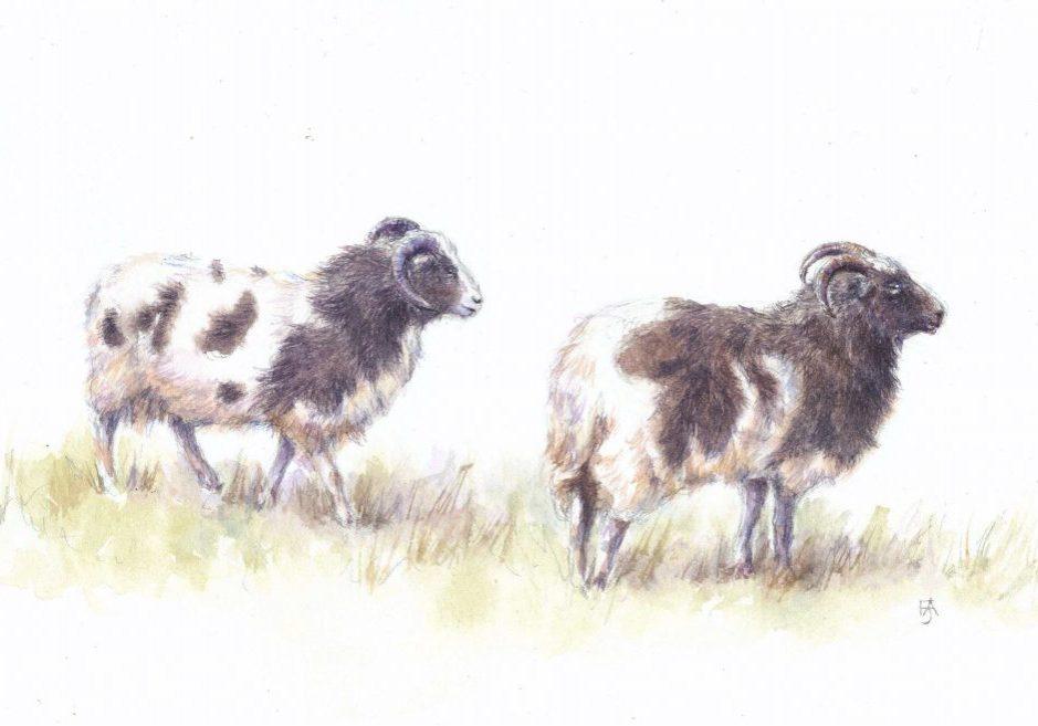 Jacobs sheep good copy