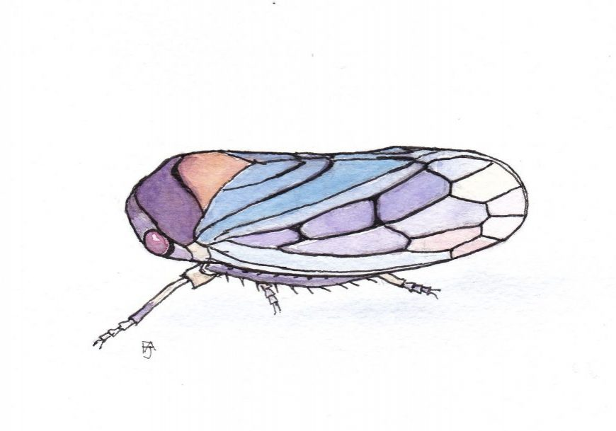 Leafhopper (Oncopsis)