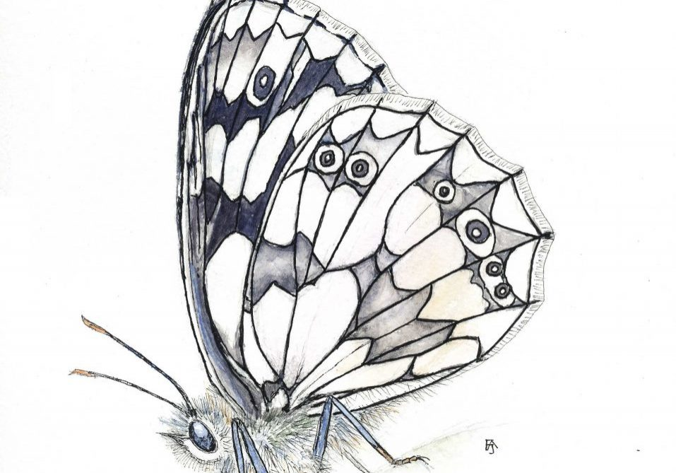 Marbled white_F A Jackson