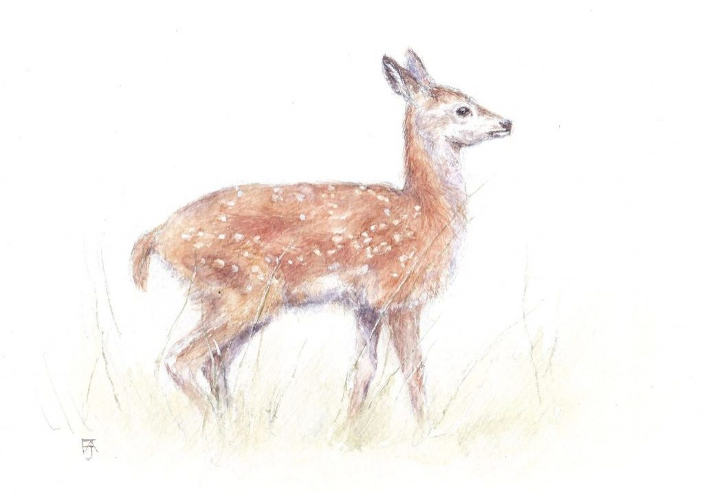 Red deer fawn, watercolour