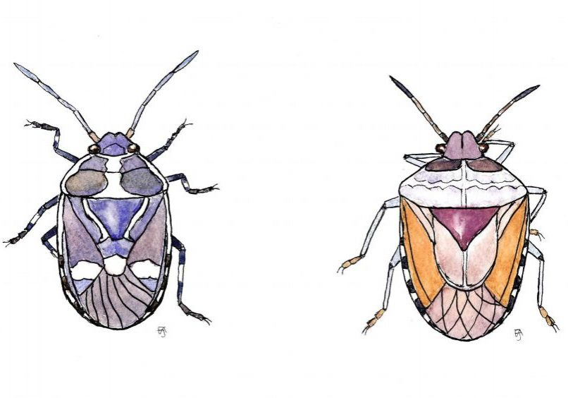 Shieldbugs 2 F A Jackson