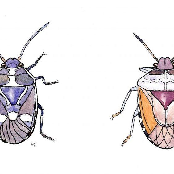 Shieldbugs 2 F A Jackson